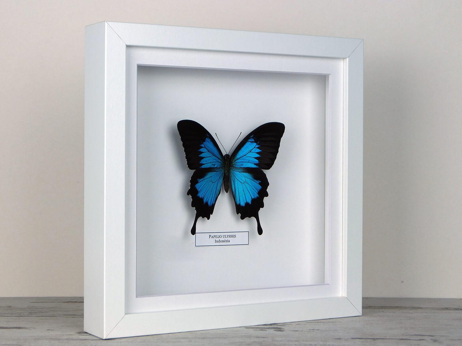 Papilio ulysses, fehér keretben