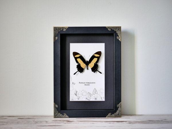 Papilio torquatus, fekete keretben, sarokdíszekkel