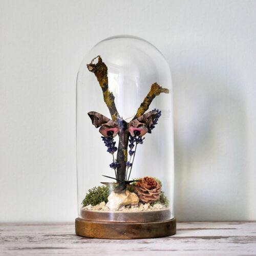 Üvegdóm, Smerinthus ocellata és Chrysochroa fulminans