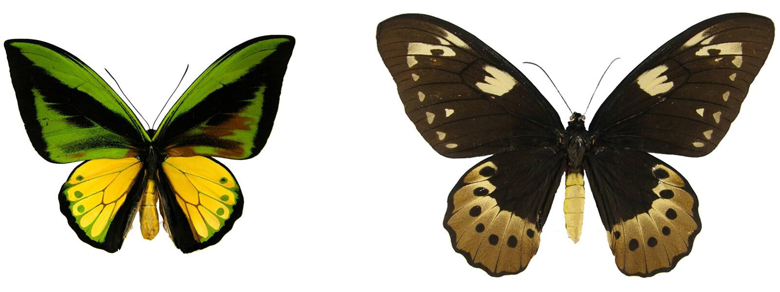 Ornithoptera goliath