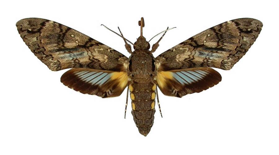 Cocytius antaeus