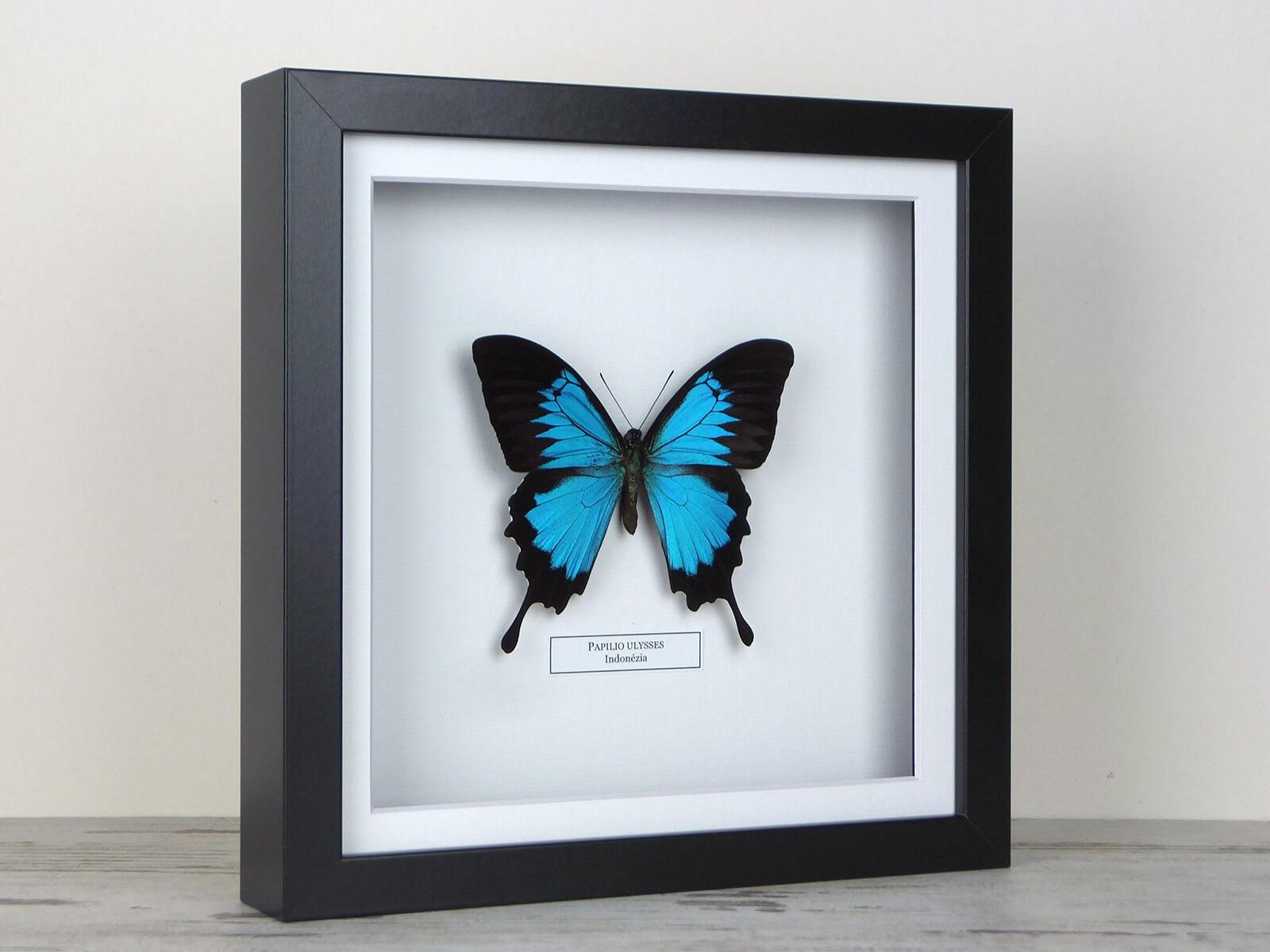 Papilio ulysses, fekete keretben