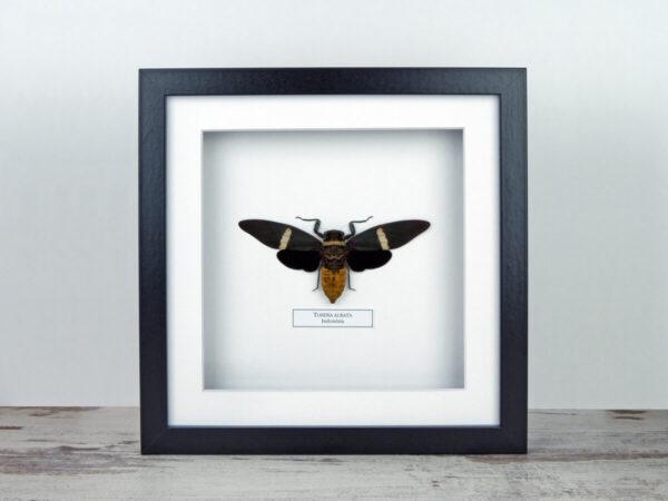 Tosena albata kabóca, fekete keretben