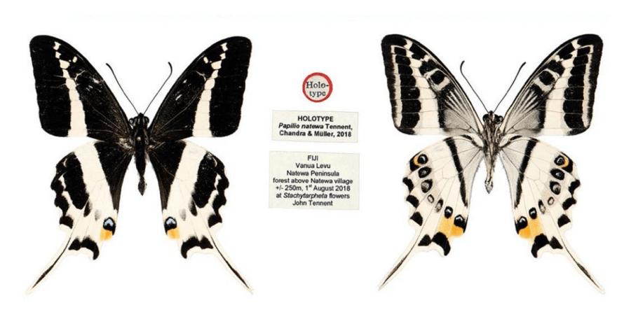 Papilio natewa