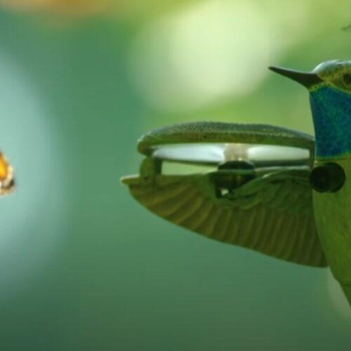 Kolibri drón vs. Pompás királylepke