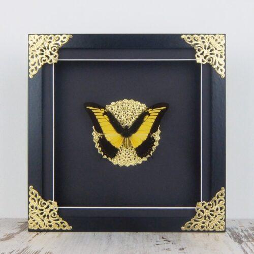 Papilio androgeus, fekete keretben, sarokdísszel