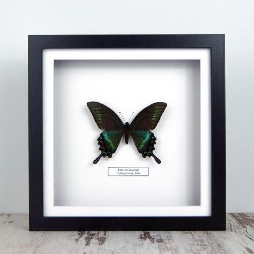 Papilio maackii, fekete keretben #2