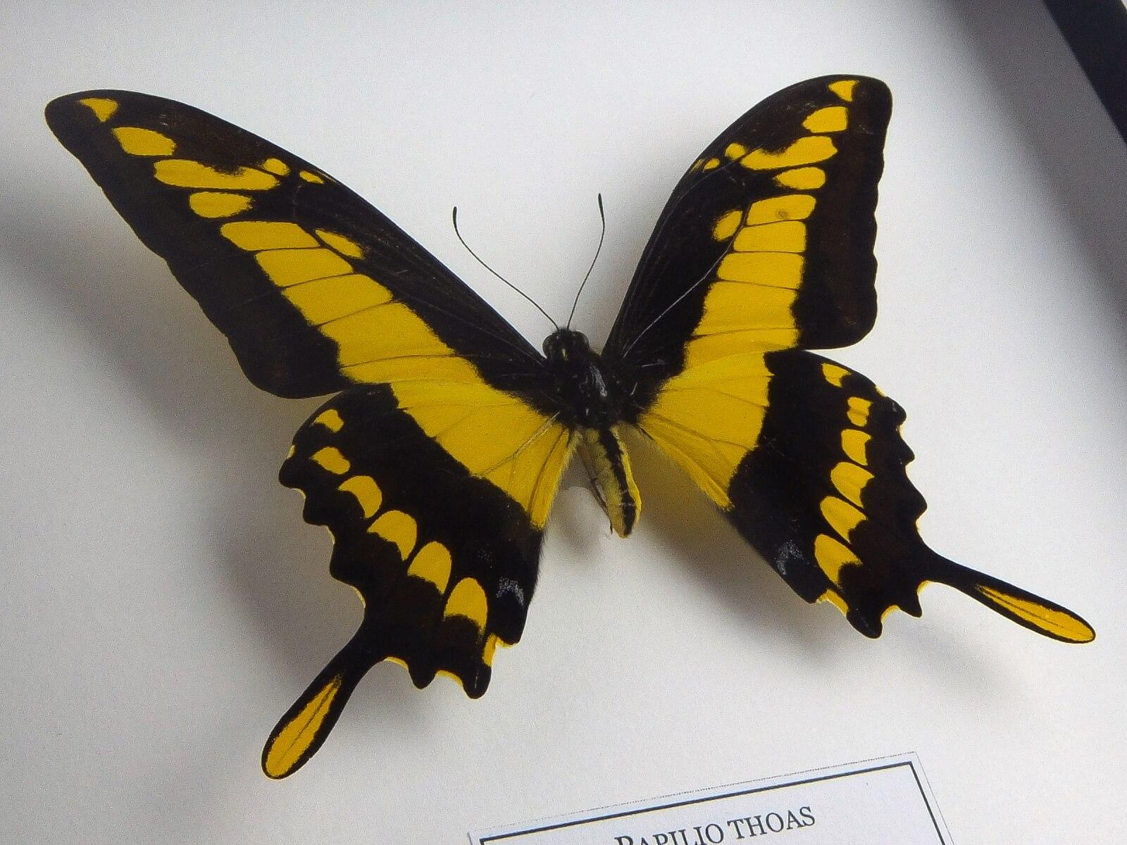 Papilio thoas, fekete keretben