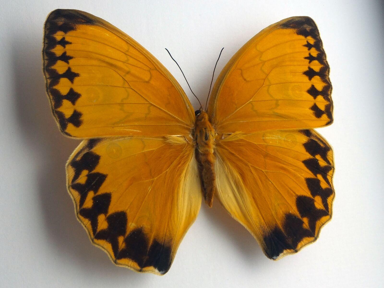 Stichophthalma howqua, fekete keretben