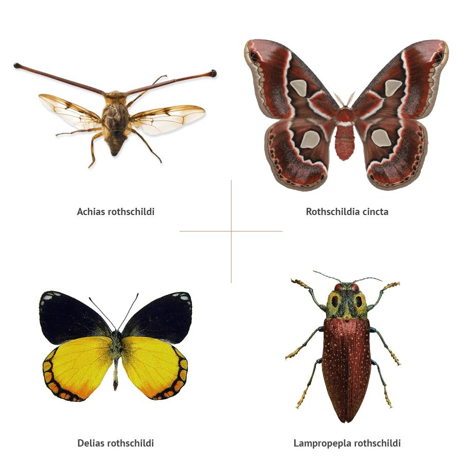 Walter Rothschild: akiről rovarokat neveztek el