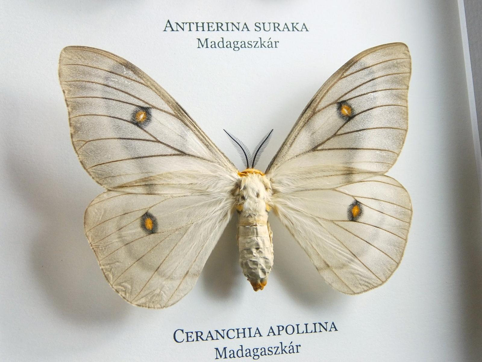 Antherina suraka és Ceranchia apollina, új fekete keretben #1673