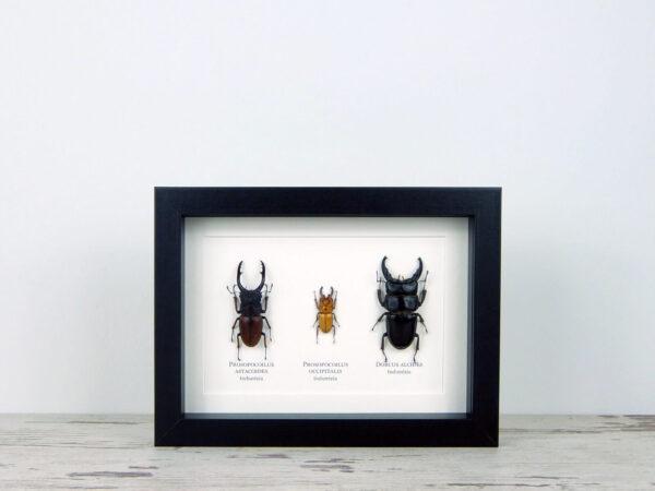 Lucanidae bogár mix, fekete keretben #1641