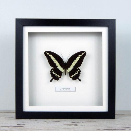 Papilio gigon, fekete keretben | #1658