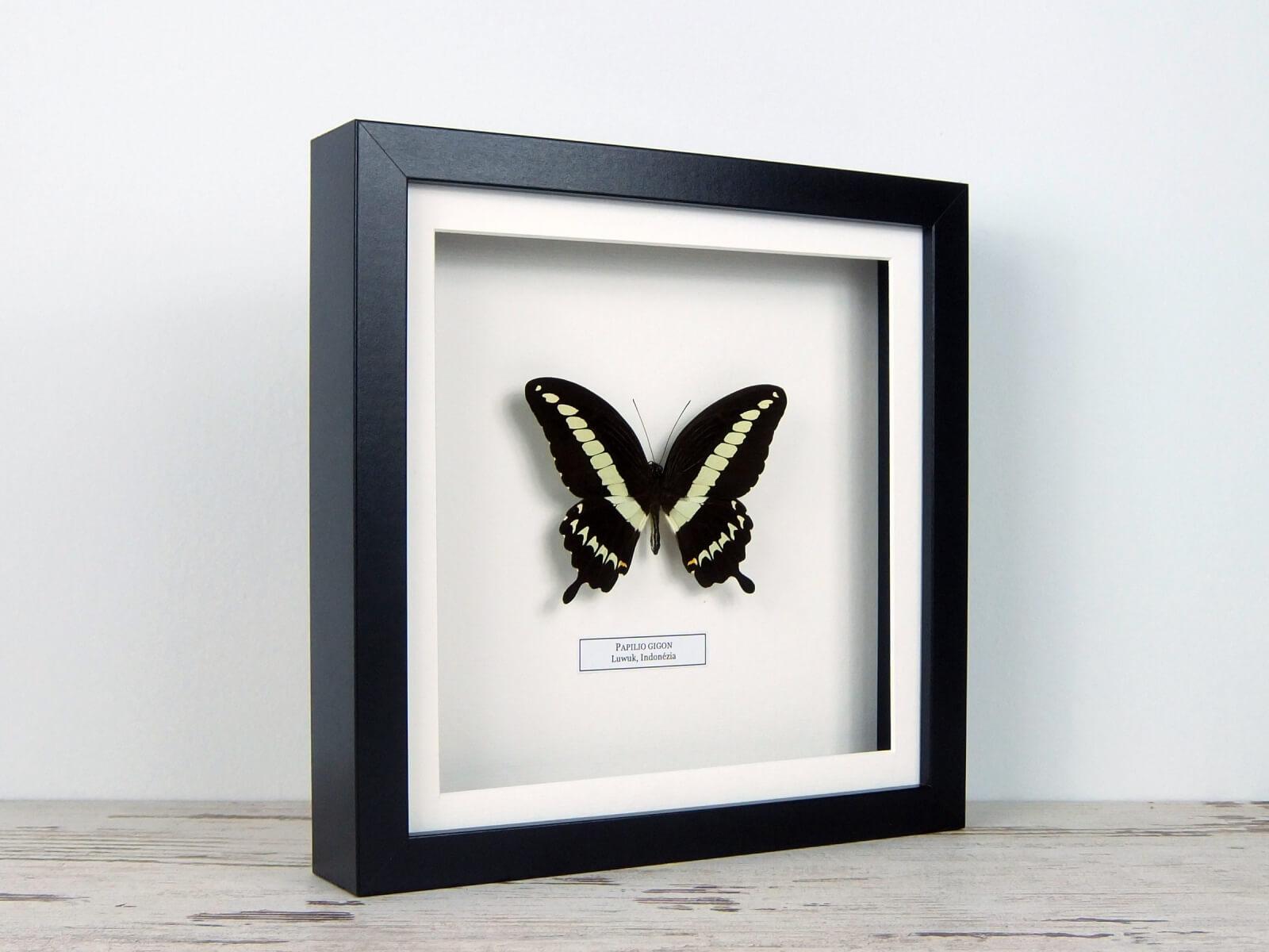 Papilio gigon, fekete keretben #1658
