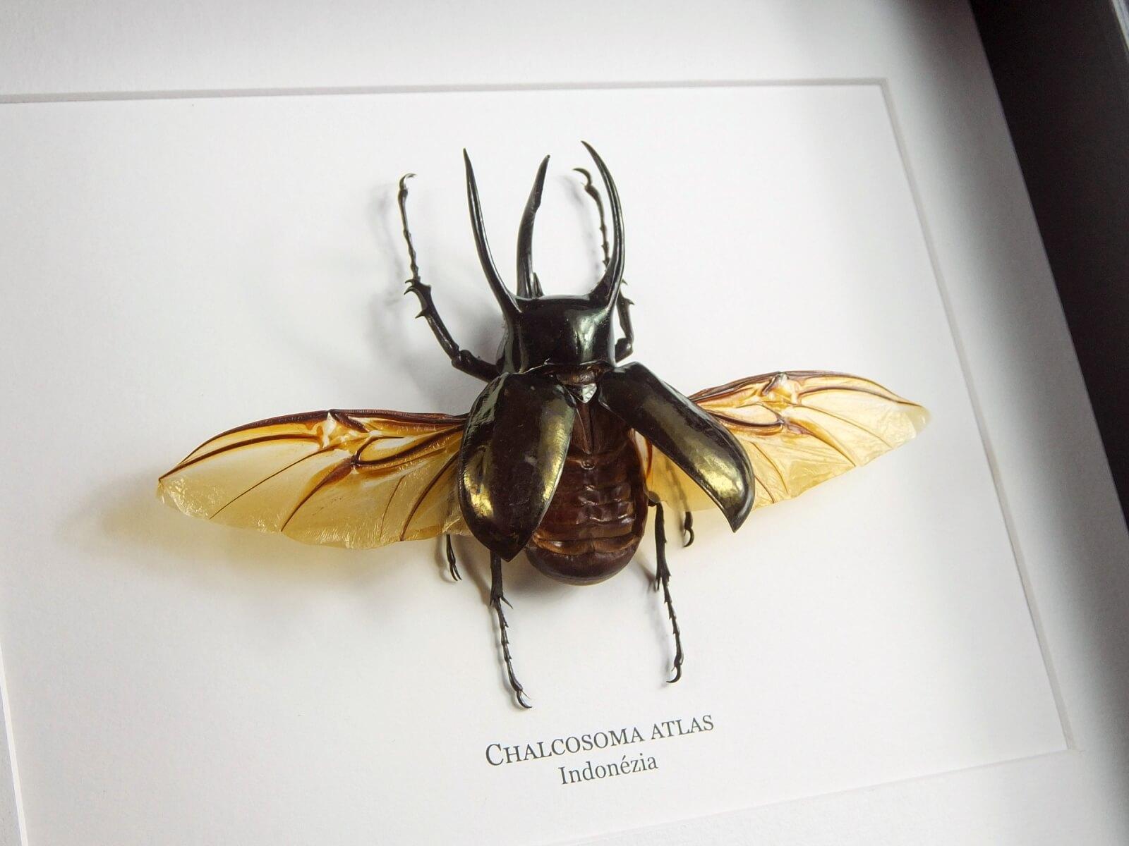 Chalcosoma atlas, új fekete keretben   #1728