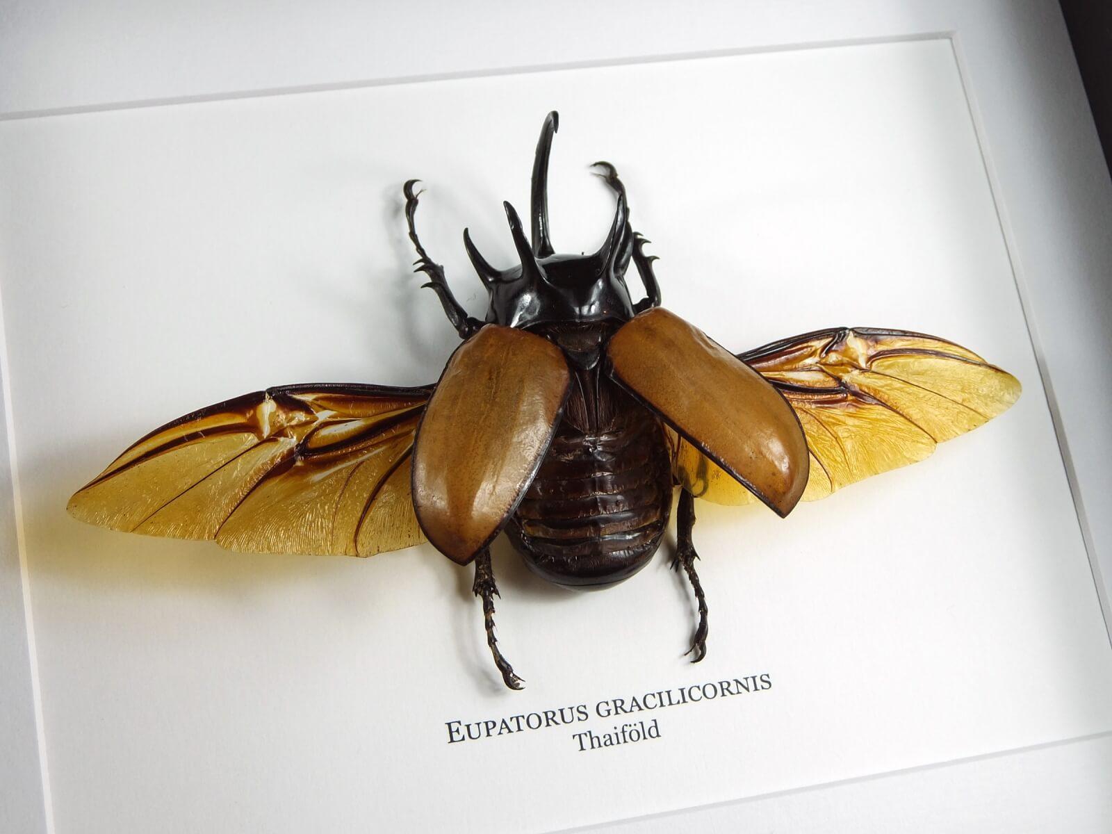 Eupatorus gracilicornis, fekete keretben | #1855
