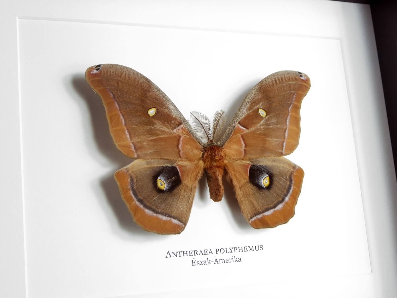 Antheraea polyphemus, fekete keretben   #1934