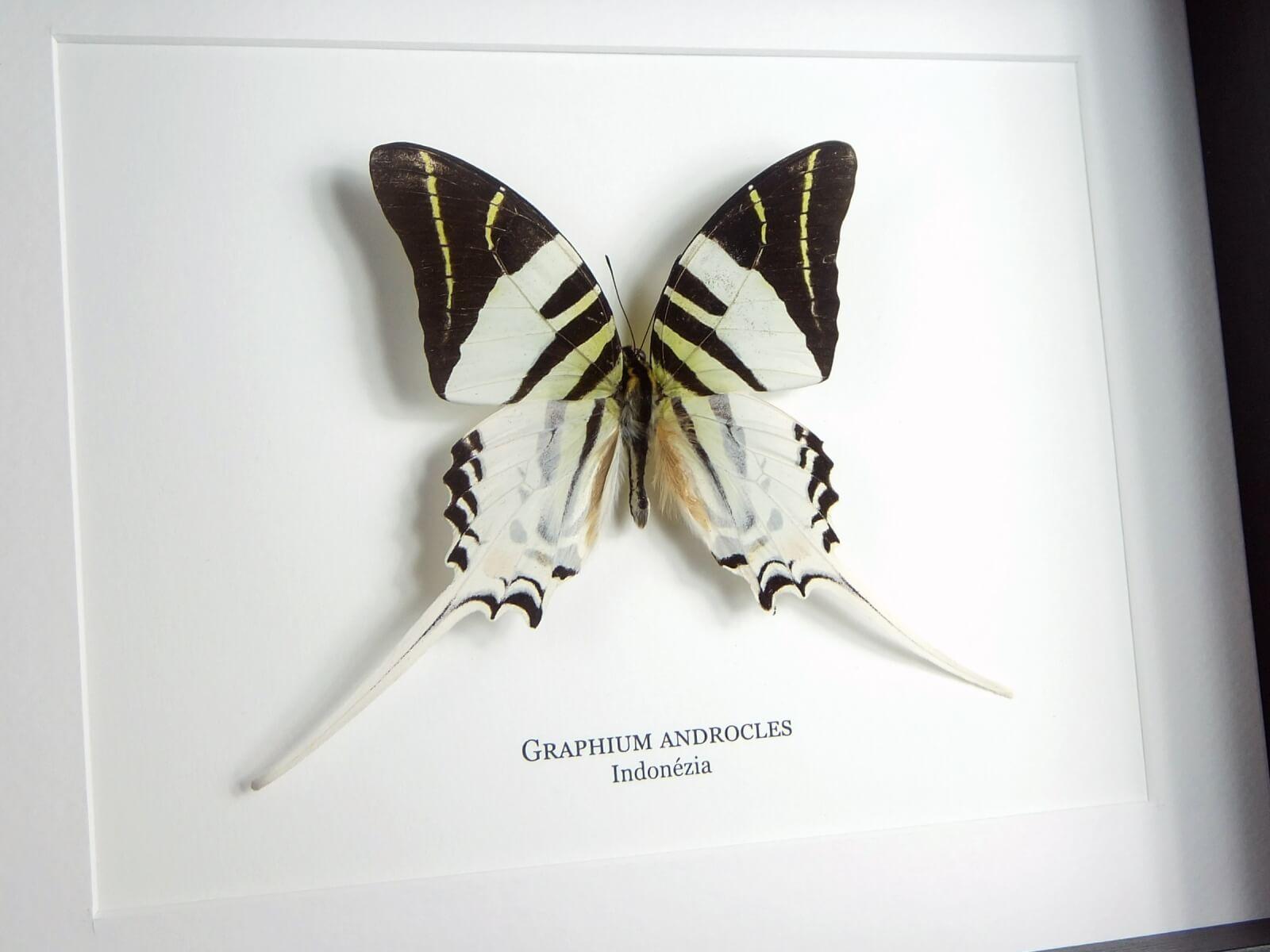 Graphium androcles, fekete keretben | #1942