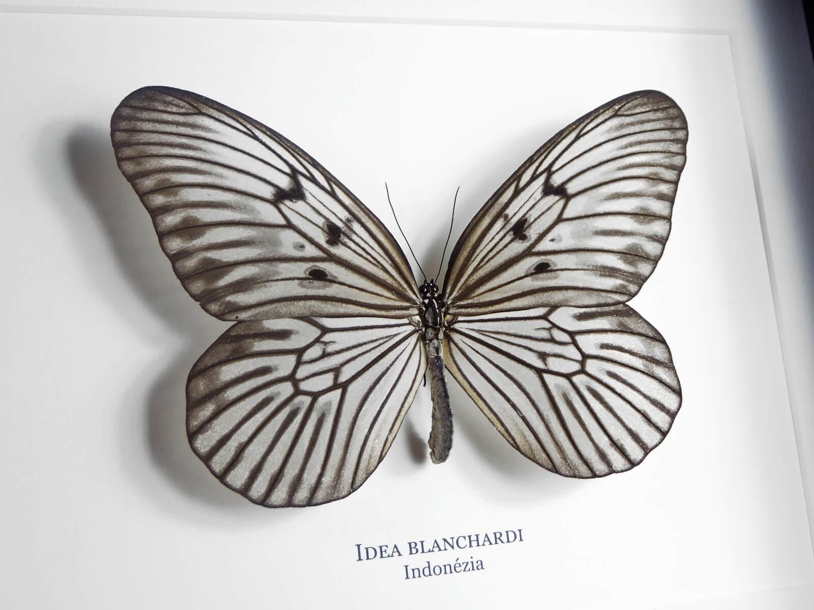 Idea blanchardi, fekete keretben | #1931