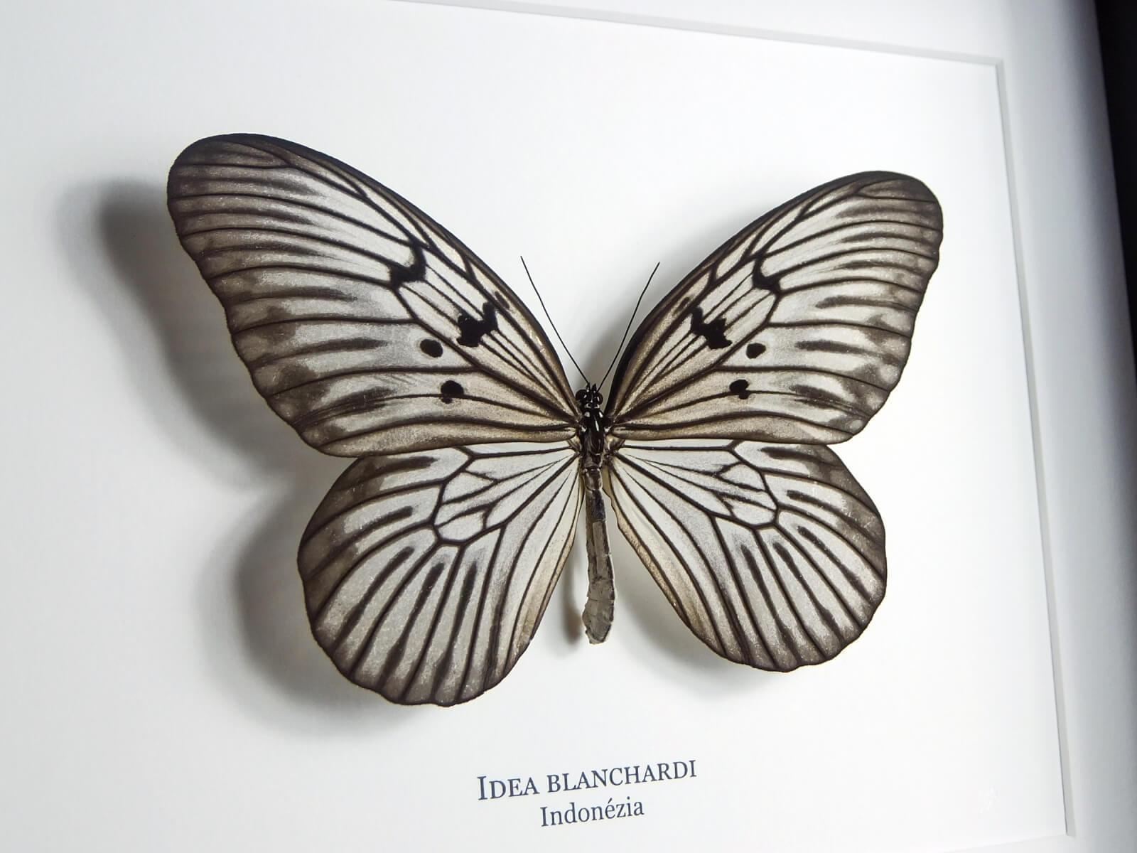 Idea blanchardi, fekete keretben   #1932