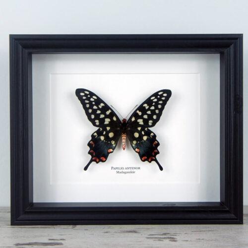 Papilio antenor, fekete keretben   #1927