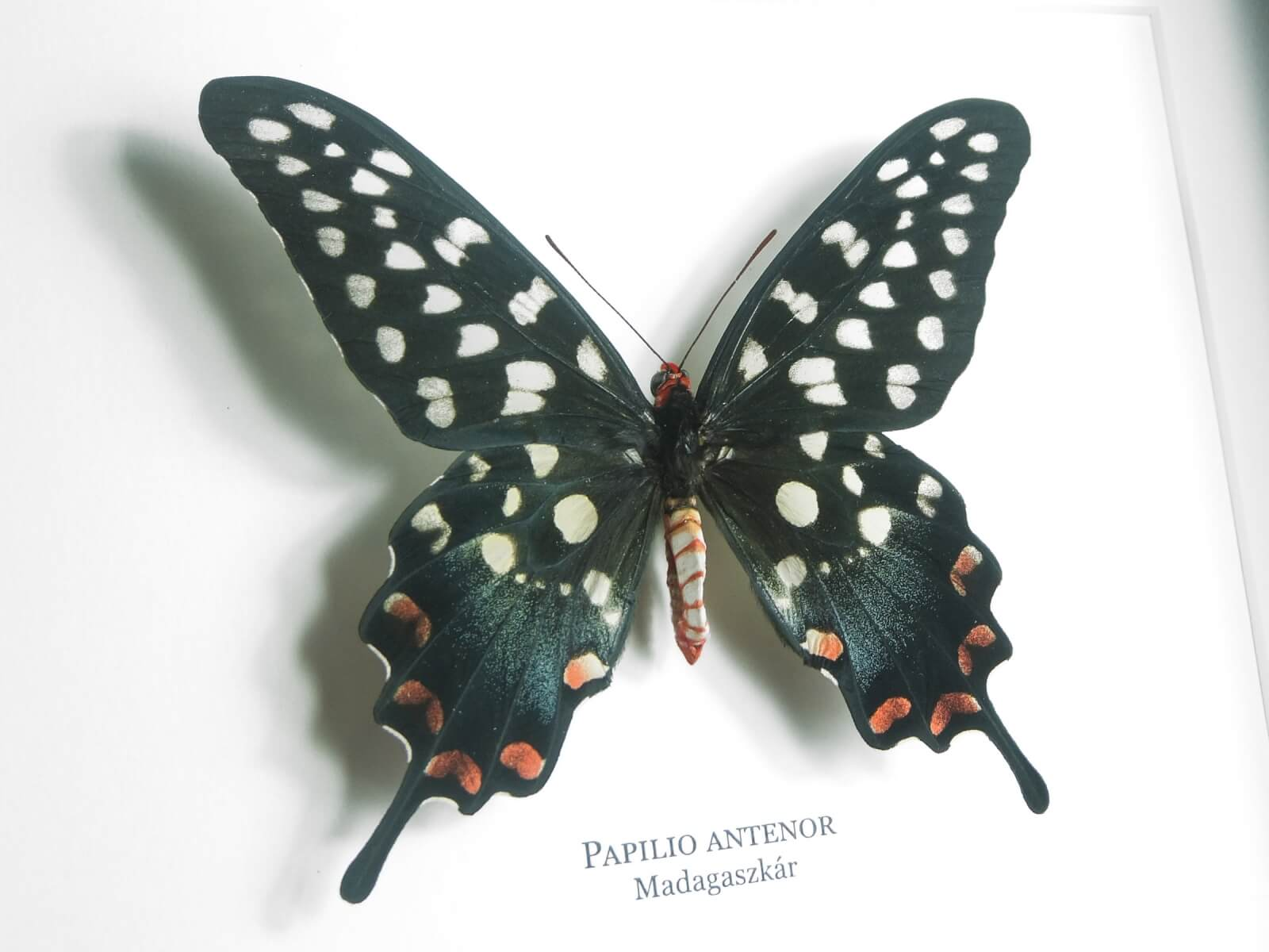 Papilio antenor, fekete keretben | #1927