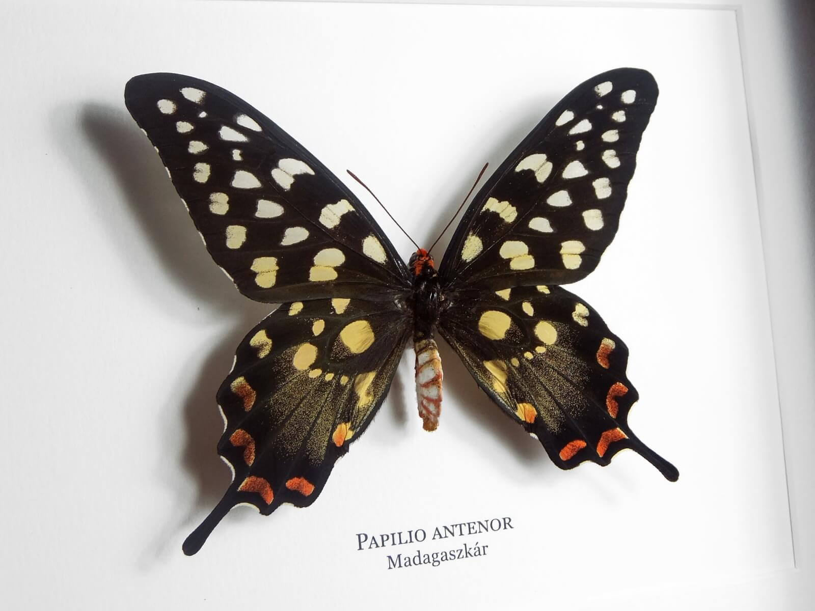 Papilio antenor, fekete keretben | #1928