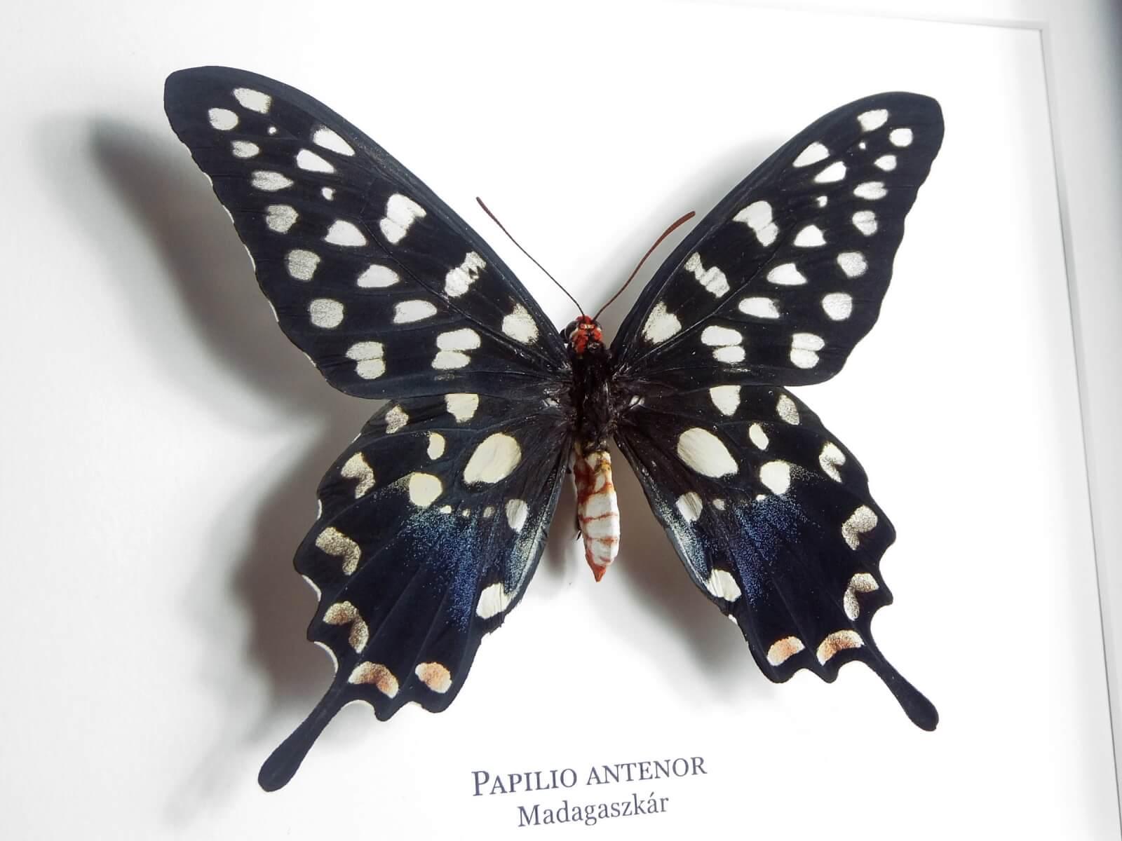 Papilio antenor, fekete keretben | #1929