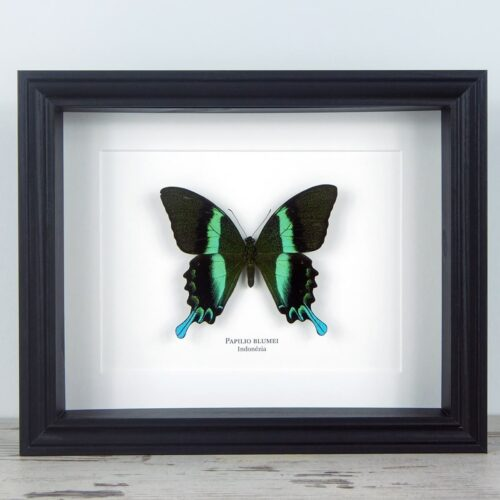 Papilio blumei, fekete keretben   #1937