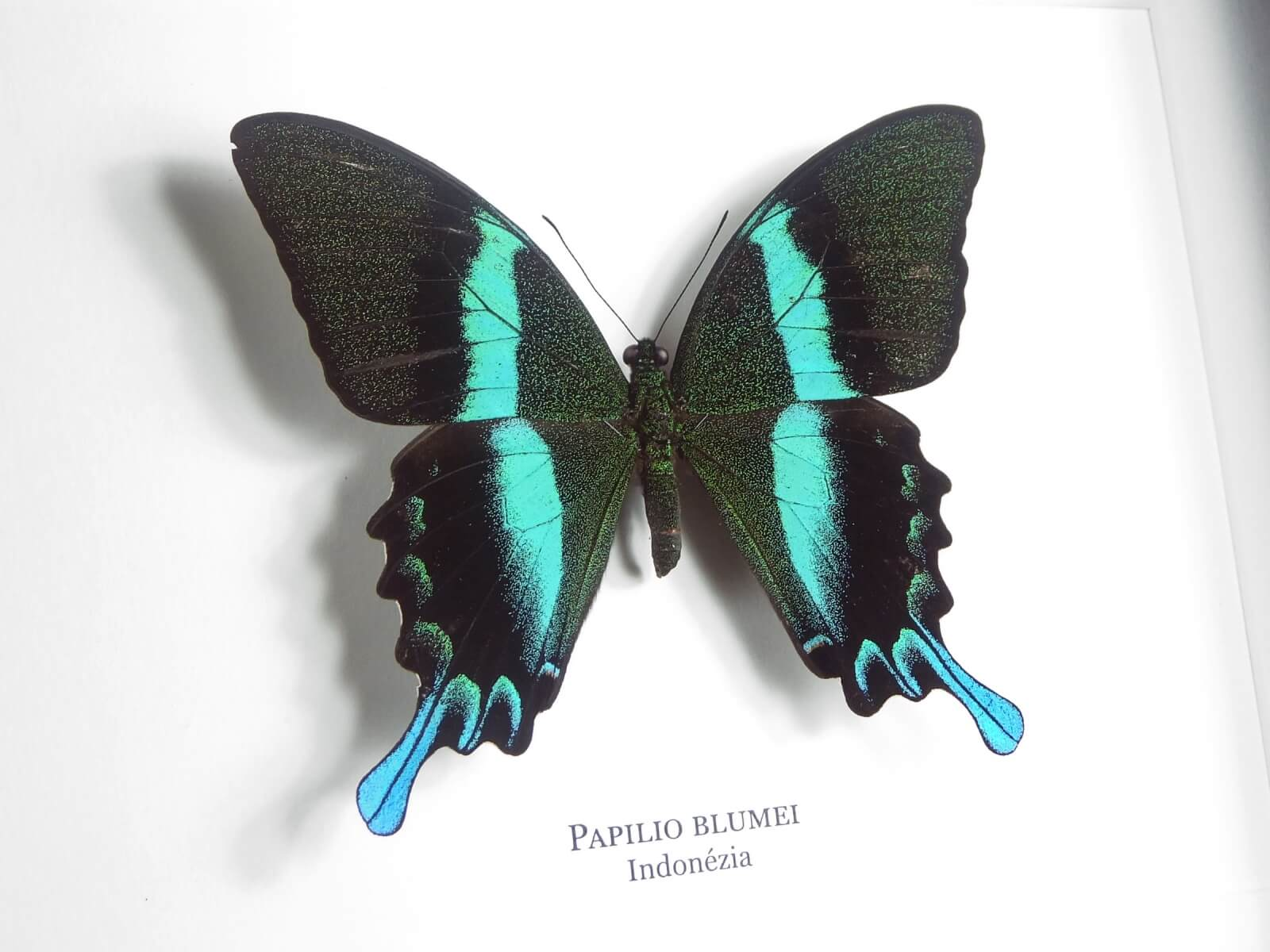 Papilio blumei, fekete keretben | #1937