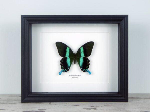 Papilio blumei, fekete keretben | #1938