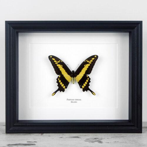 Papilio thoas, fekete keretben | #1954