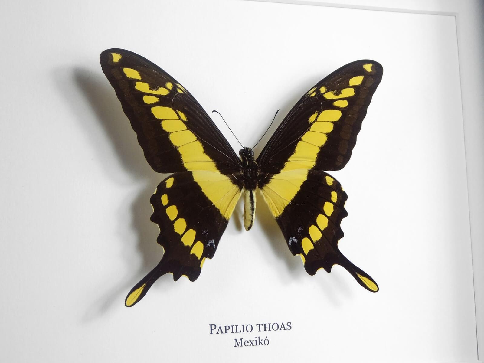 Papilio thoas, fekete keretben   #1954