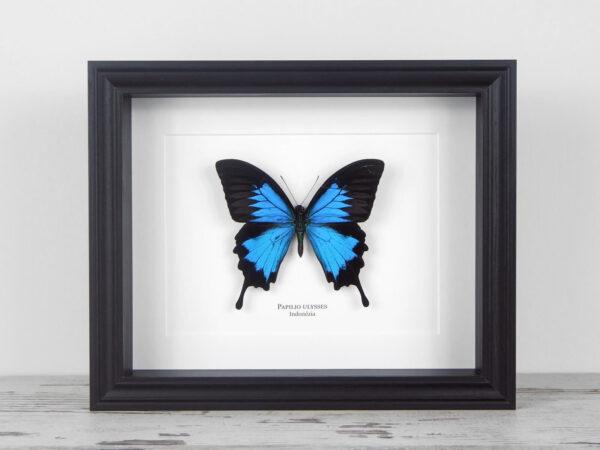 Papilio ulysses, fekete keretben | #1923