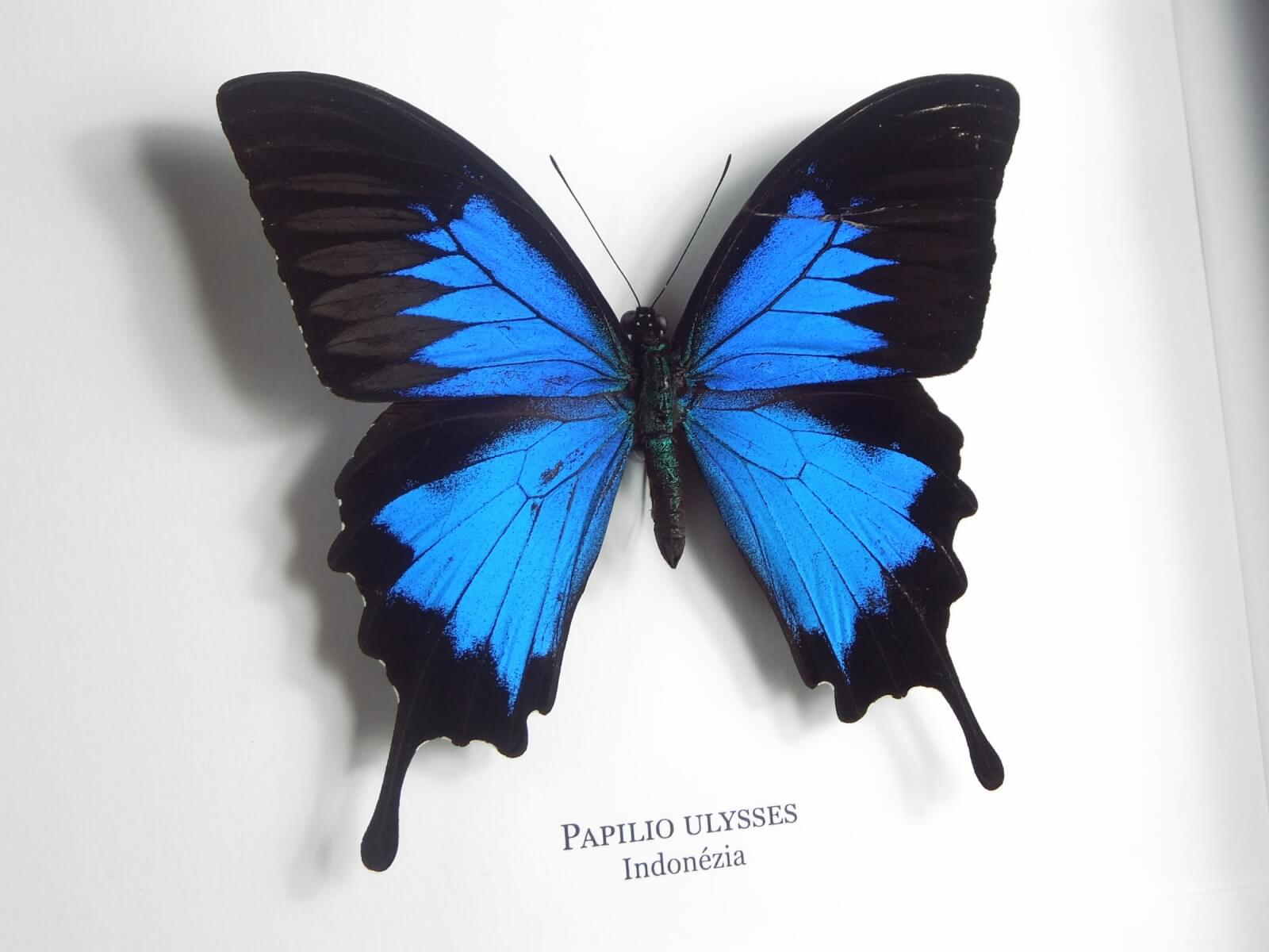 Papilio ulysses, fekete keretben   #1923
