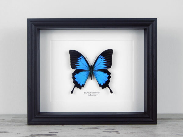 Papilio ulysses, fekete keretben | #1924