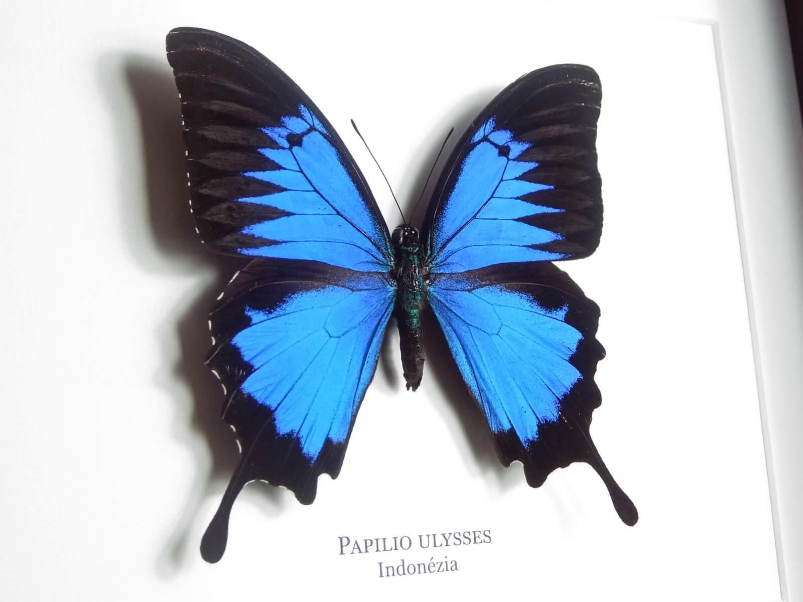 Papilio ulysses, fekete keretben   #1924