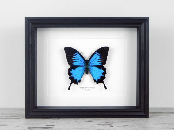 Papilio ulysses, fekete keretben | #1925