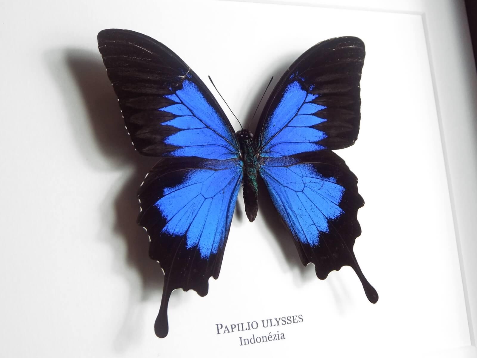Papilio ulysses, fekete keretben | #1926