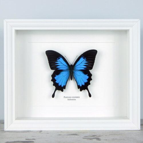 Papilio ulysses, fehér keretben   #1930
