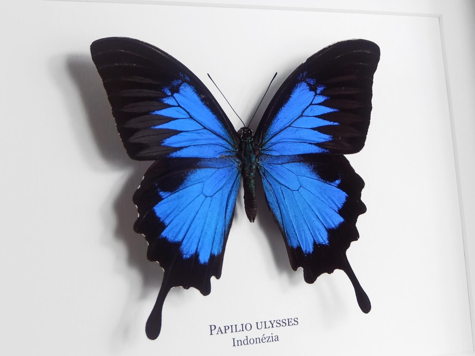 Papilio ulysses, fehér keretben | #1930