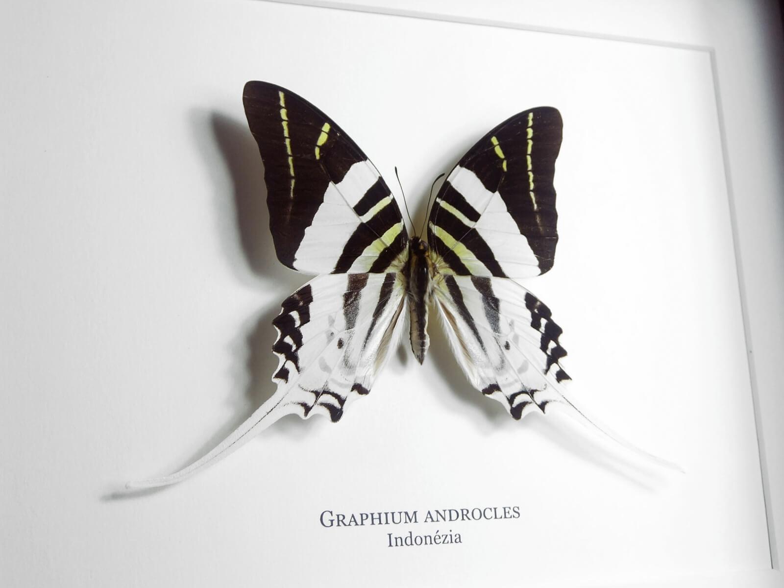 Graphium androcles, fekete keretben   #2070