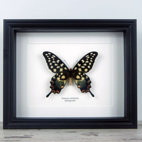 Papilio antenor, fekete keretben | #2071