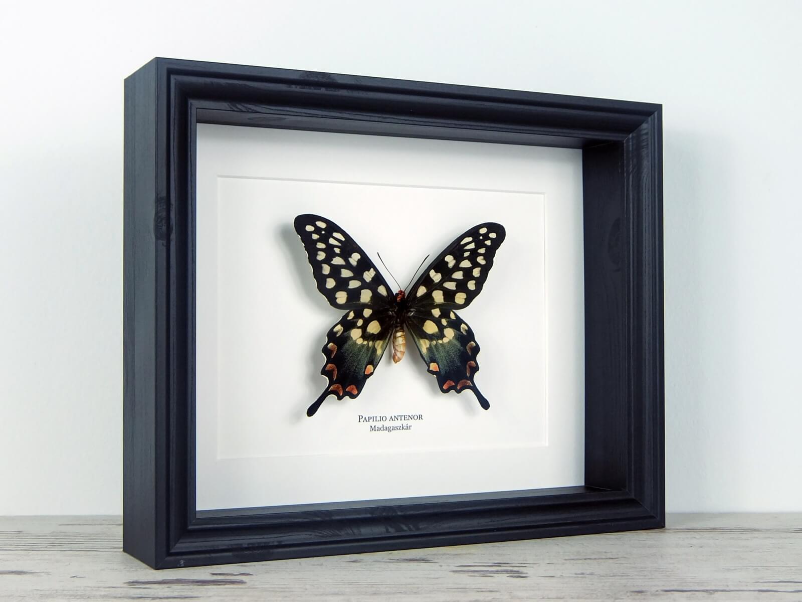 Papilio antenor, fekete keretben   #2071