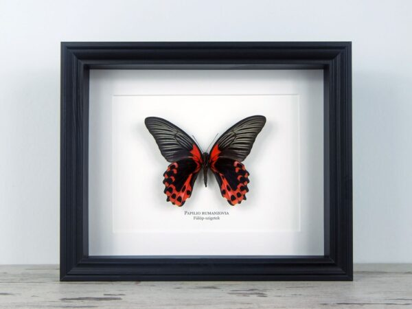 Papilio rumanzovia, fekete keretben | #2072