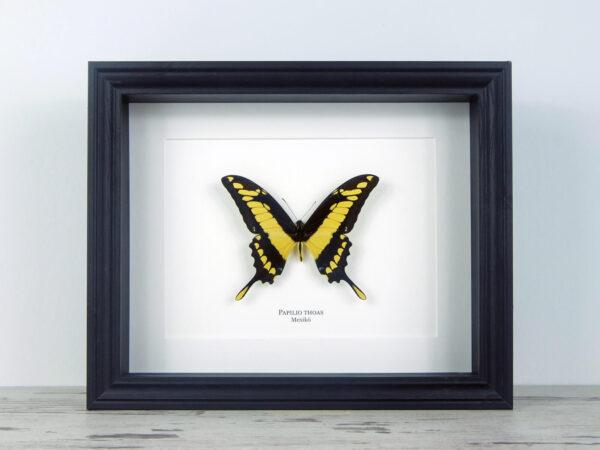Papilio thoas, fekete keretben | #2064