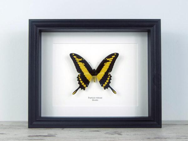 Papilio thoas, fekete keretben | #2065