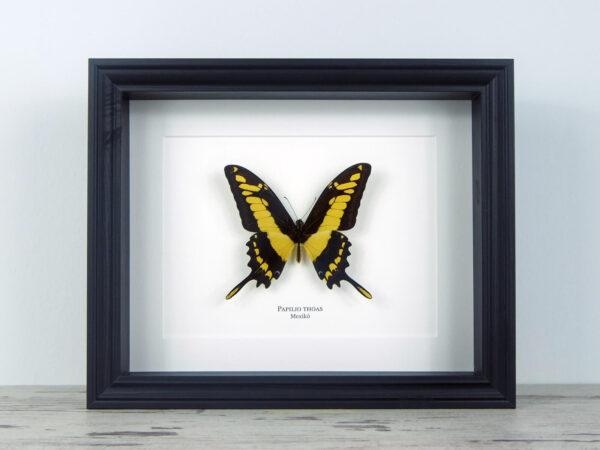 Papilio thoas, fekete keretben   #2066