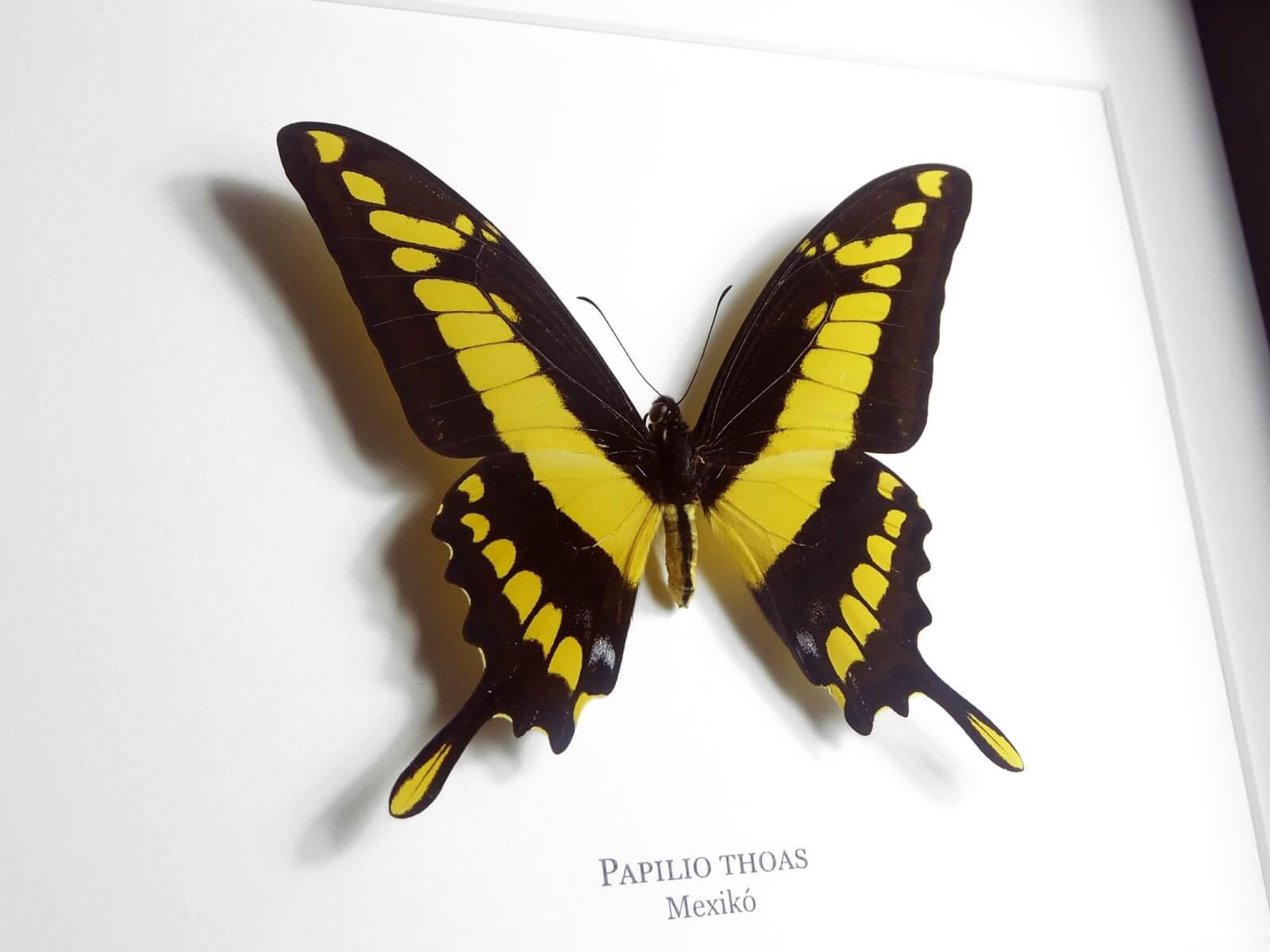 Papilio thoas, fekete keretben   #2073