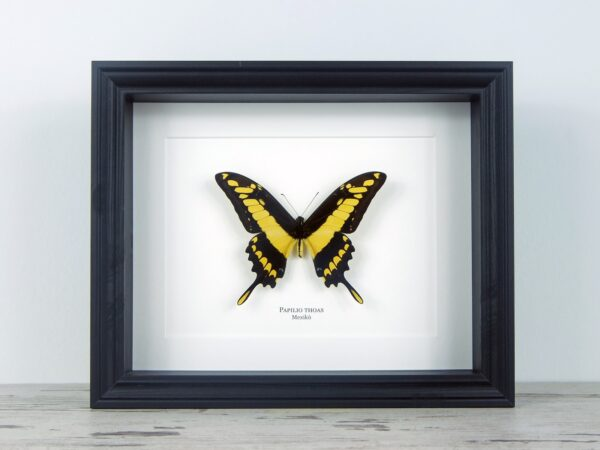 Papilio thoas, fekete keretben | #2074